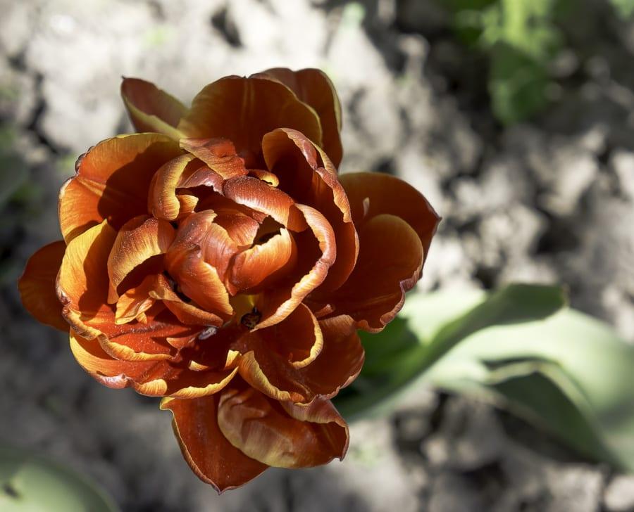 Margarita tulip