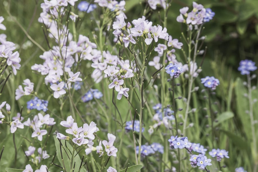 lady's smock and forget me nots