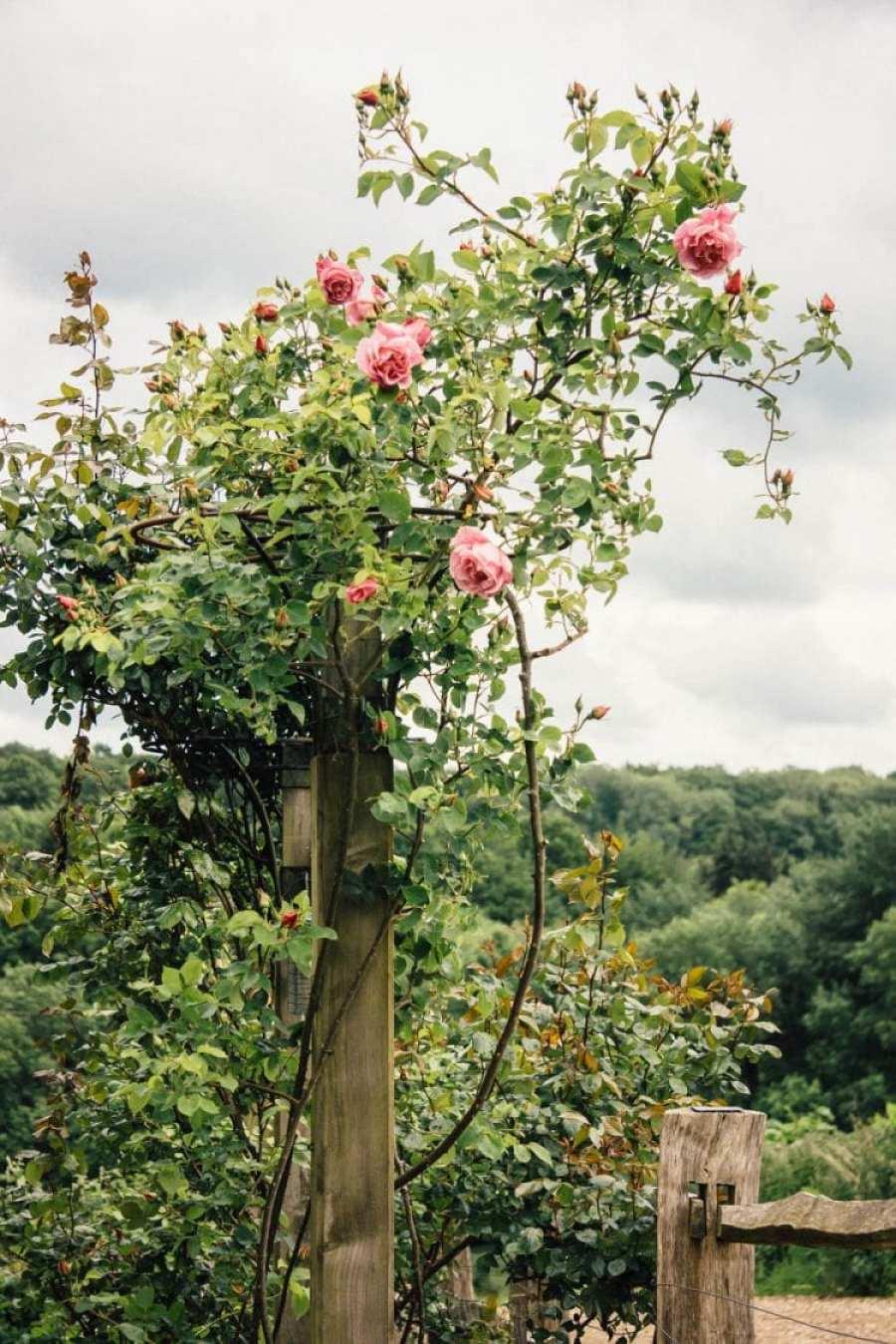 Climbing rose on wood pillar