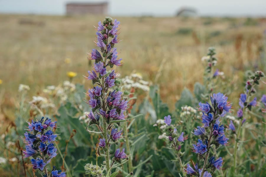 Dungeness flowers Vipers Bugloss