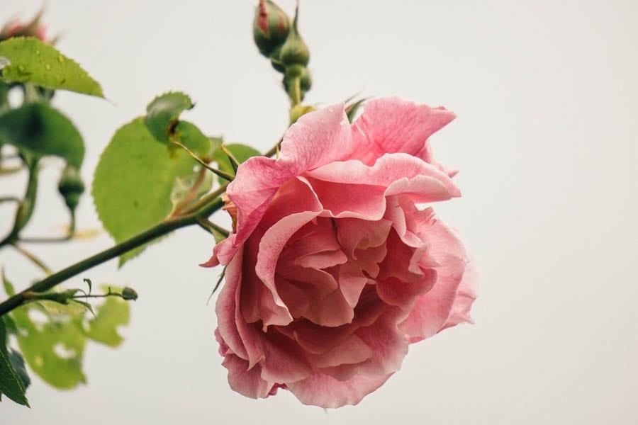 Flowering rose