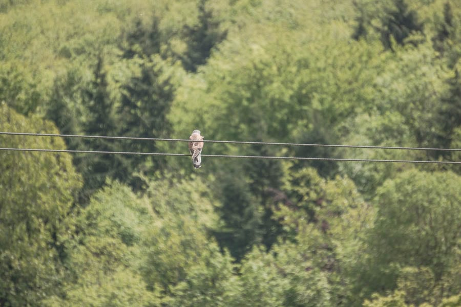 Kestrel watching from wire