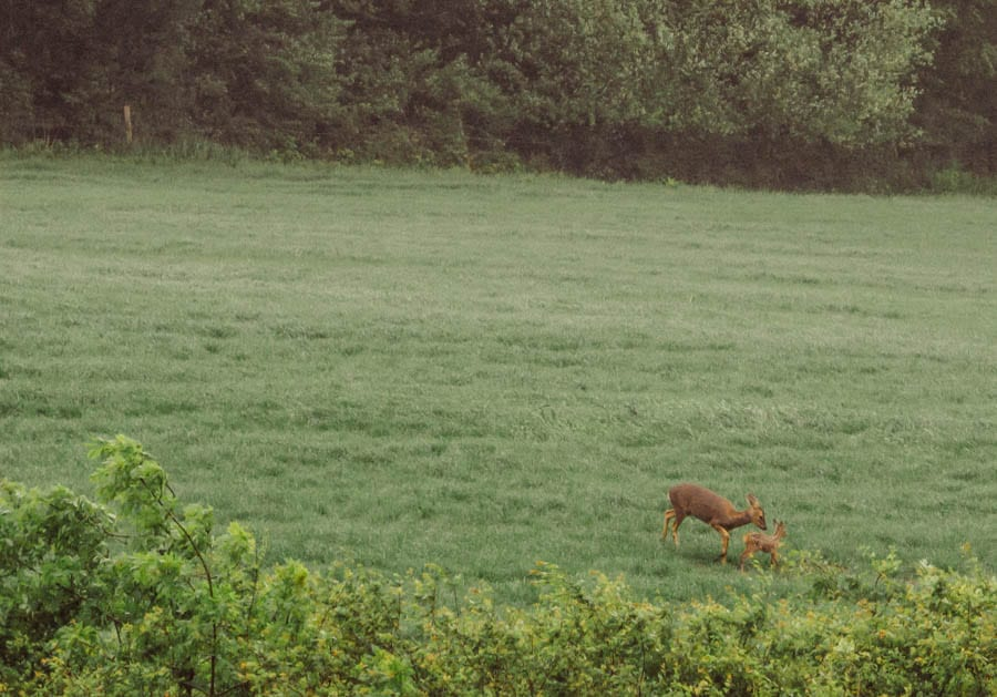 Roe Deer and fawn in field