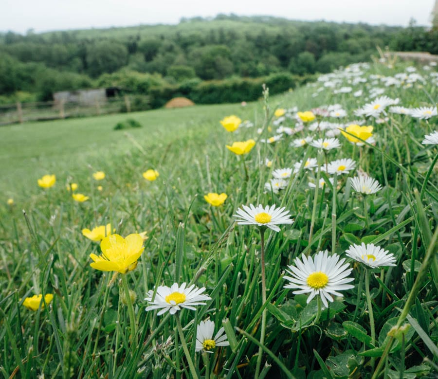 Daisies and buttercups on path