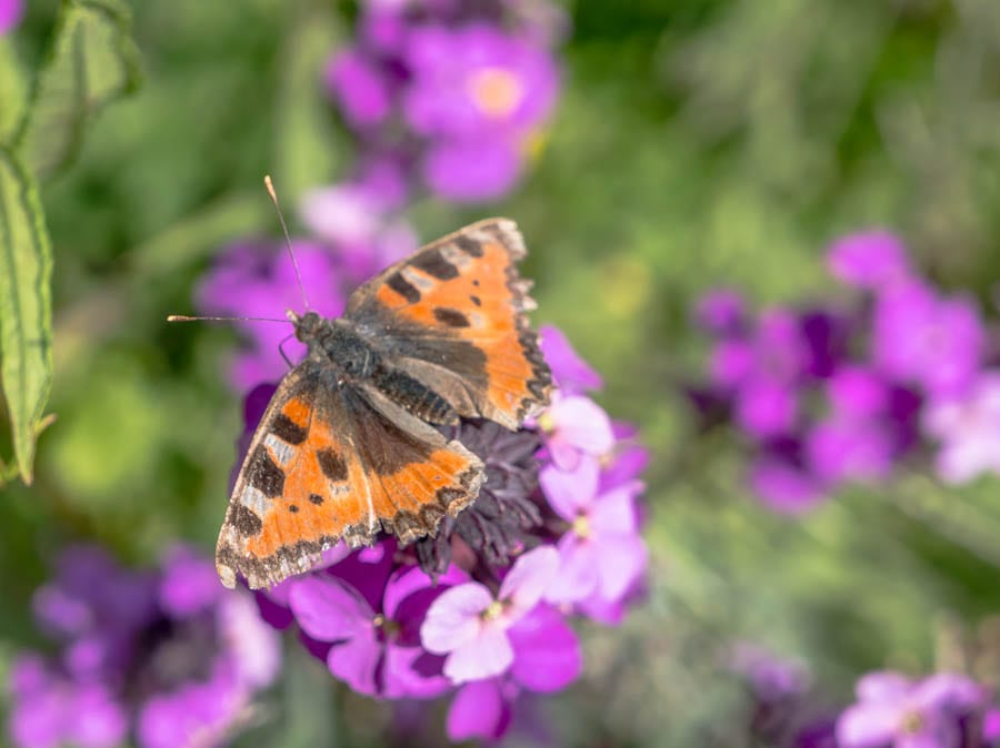 small tortoise shell butterfly on bowles mauve