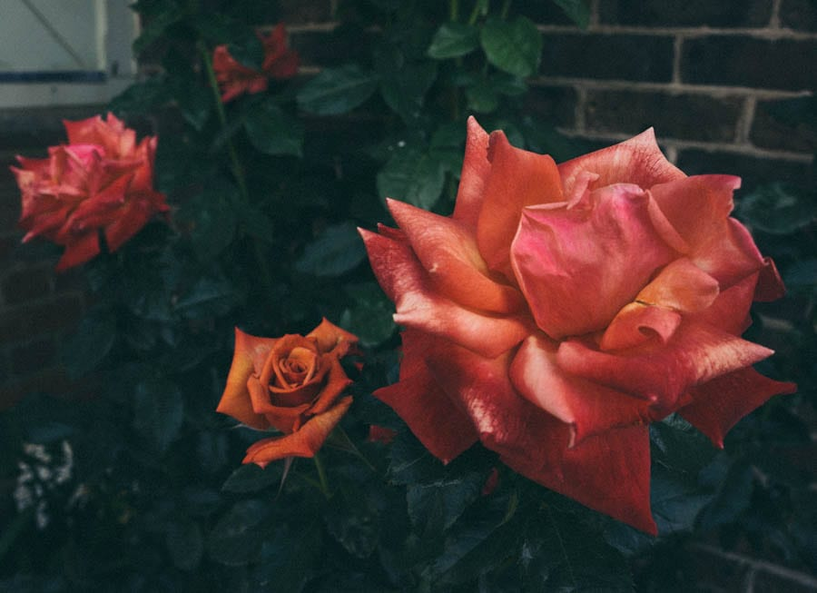 Blood orange coloured roses