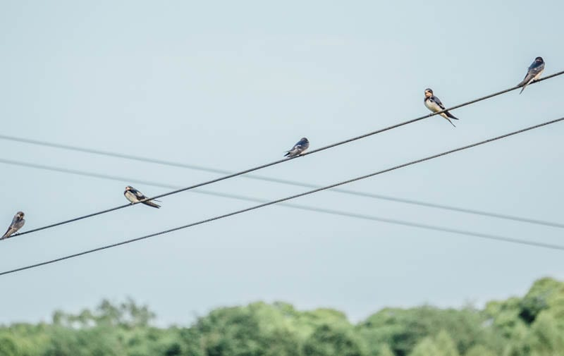 Swallows on crossed wires