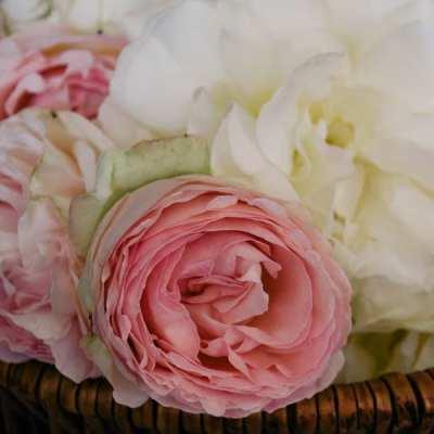 Cutting Garden Roses