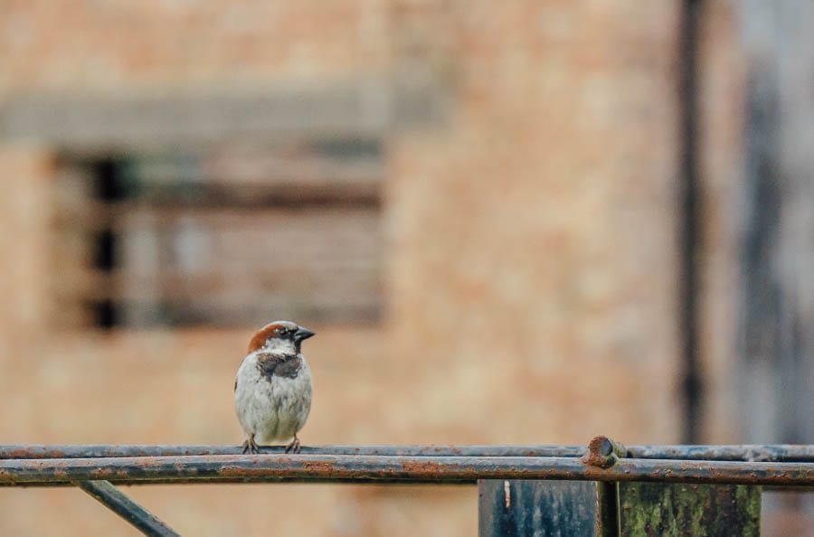sparrow on pillar