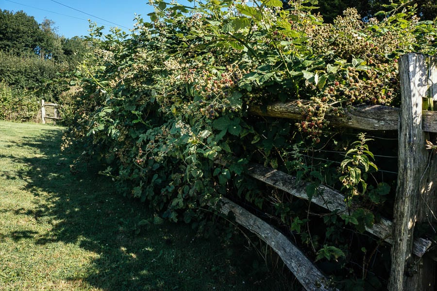 Blackberry hedge and fence