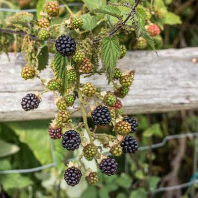 Blackberries galore – in our garden!