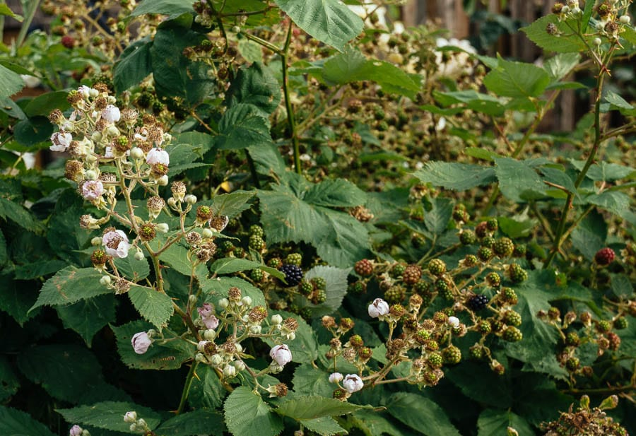 Bramble shrub covered in blackberries