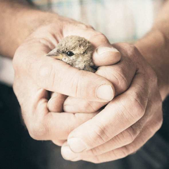 rescued sparrow held in hands