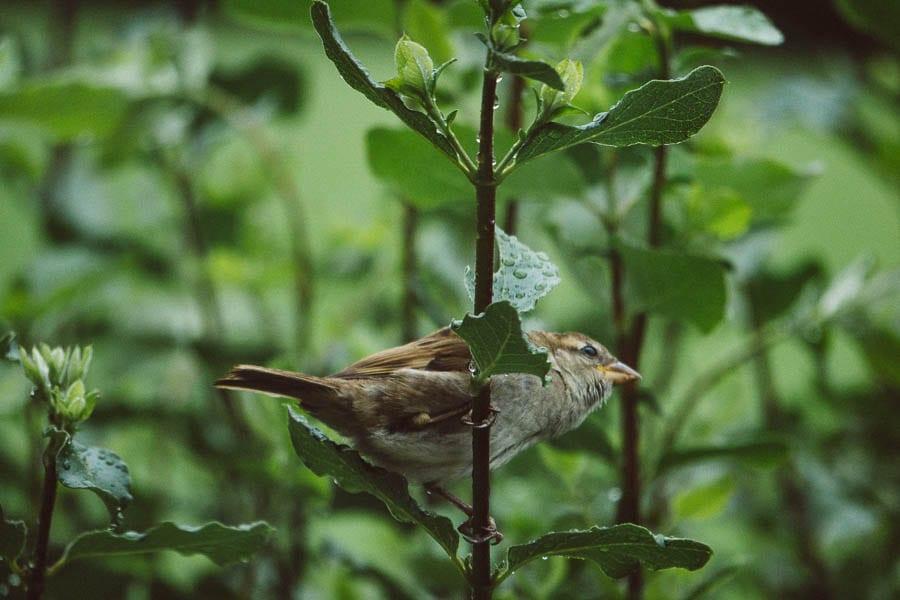 Bird in hedgerow