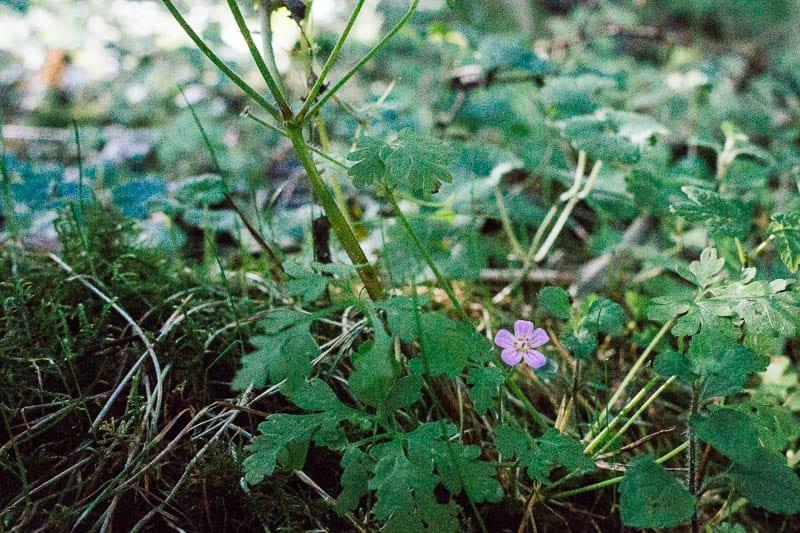 Herb Robert in woods