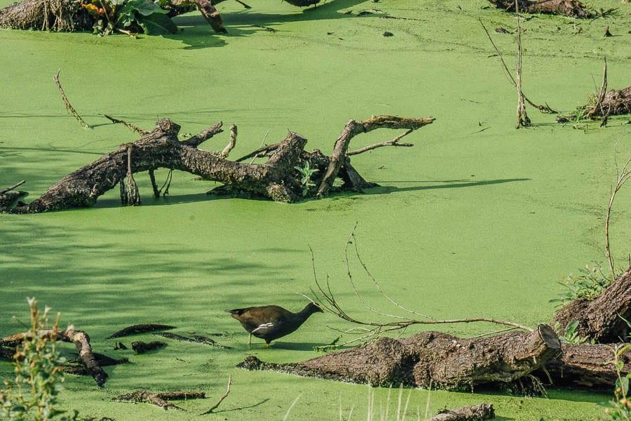 Moorhen in marsh RSPB Dungeness