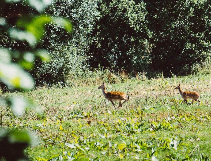 September deer running across field