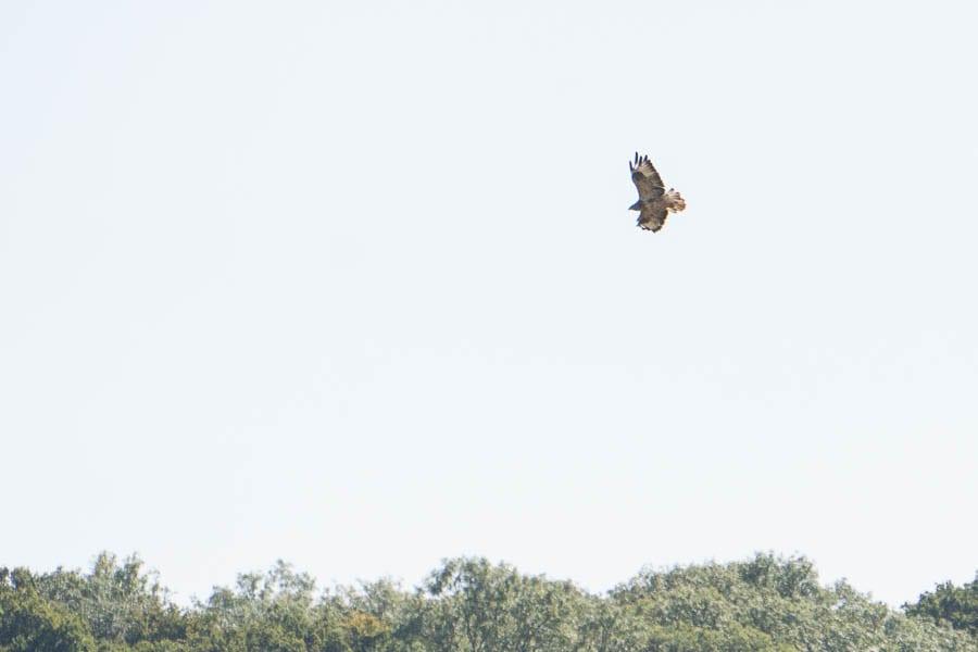 September hawk soaring above treeline