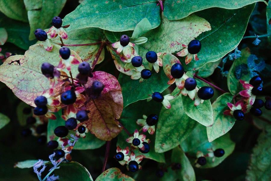 St John's Wort with black berries