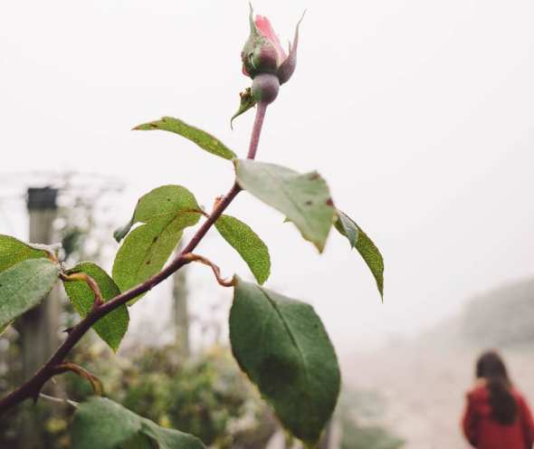 Walk in the mist with rose