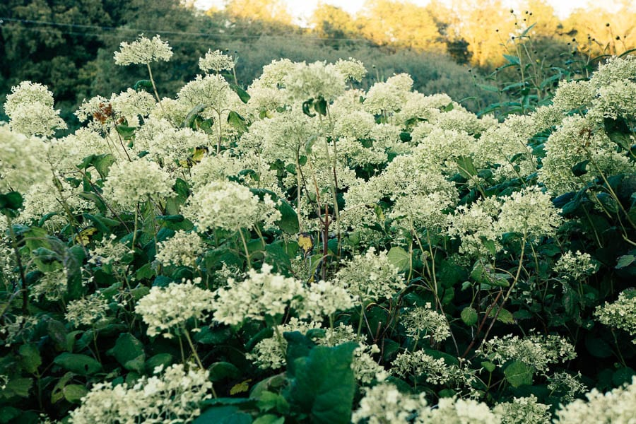 Fading and dying white hydrangeas