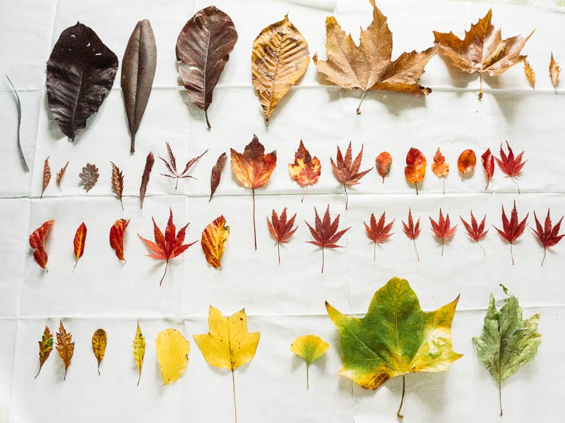 Autumn leaf colours collection