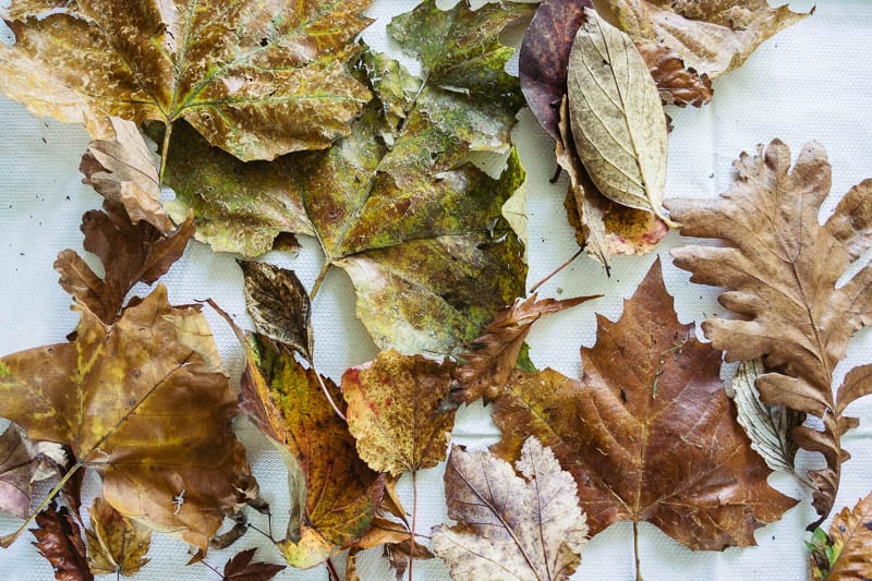 Autumn leaf colours variety