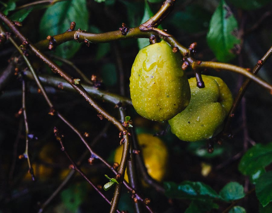 November Garden Fruit with raindrops