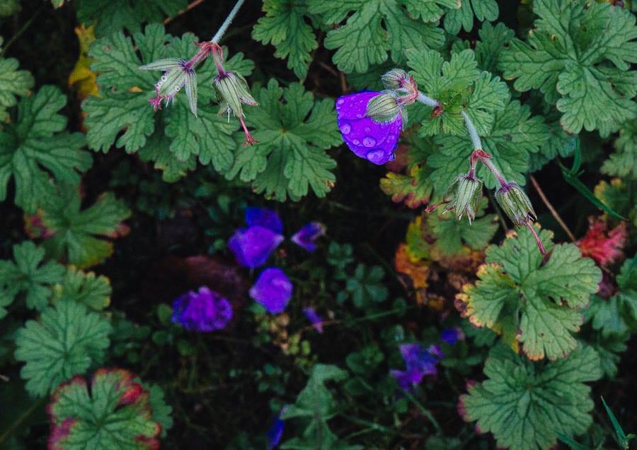 November Garden Geranium in rain