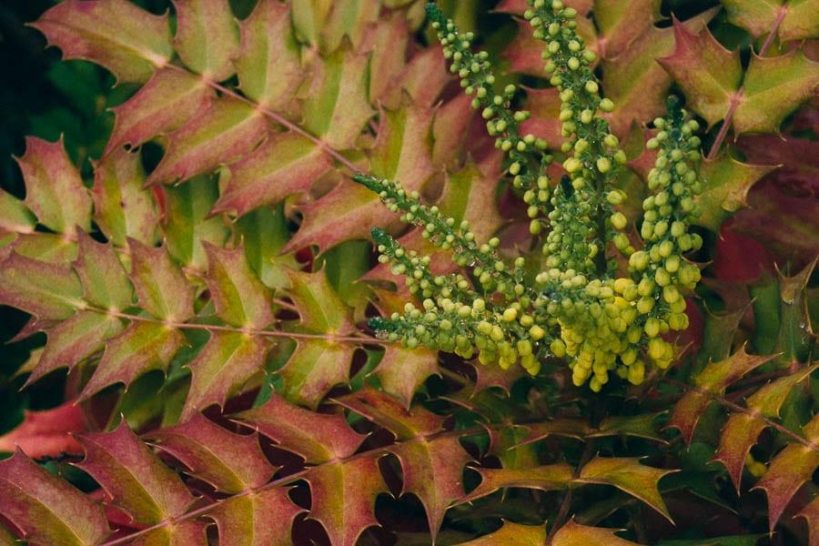 November Garden Mahonia x media flowers