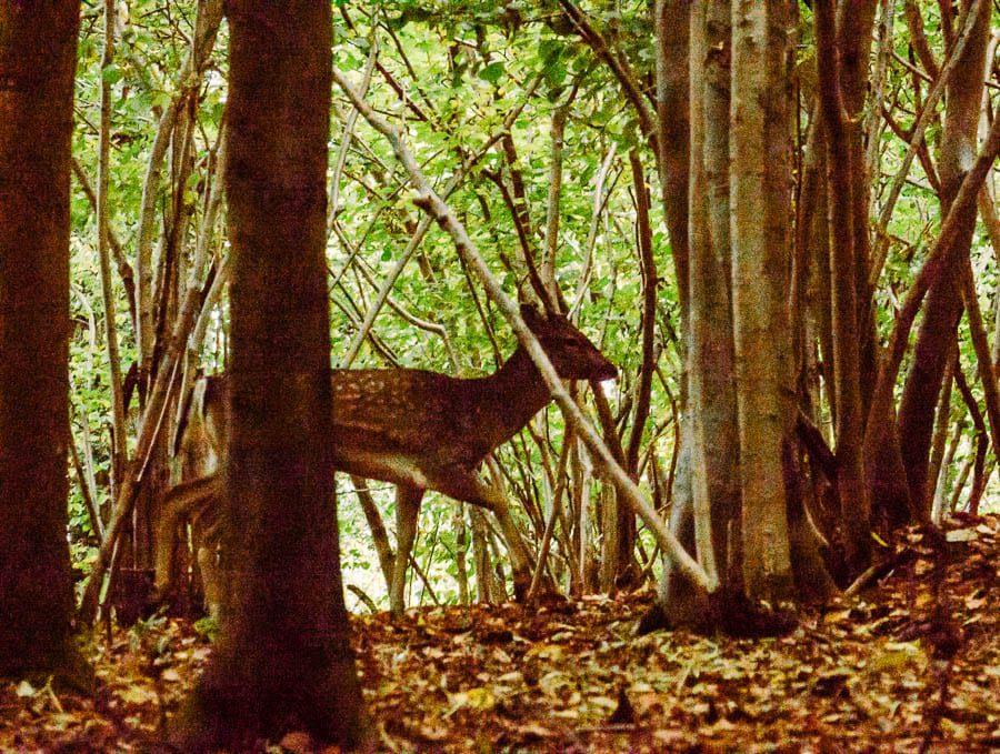 Silhouette deer in woods