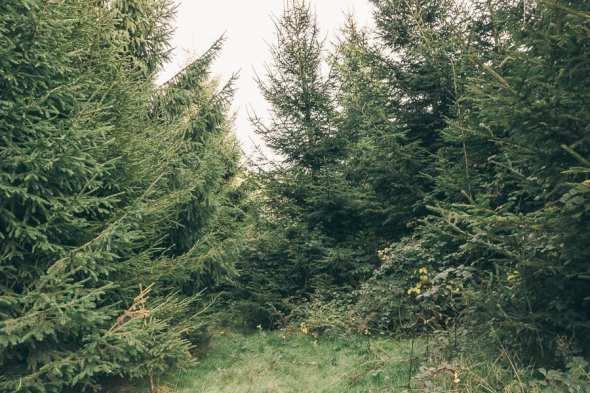 Christmas trees on farm