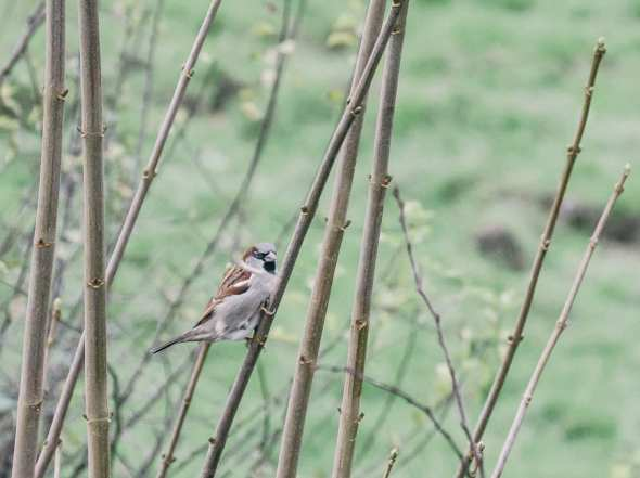 Winter Bird Feeding sparrow in hedge