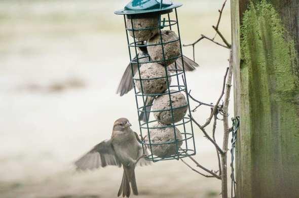Winter Bird Feeding sparrow landing
