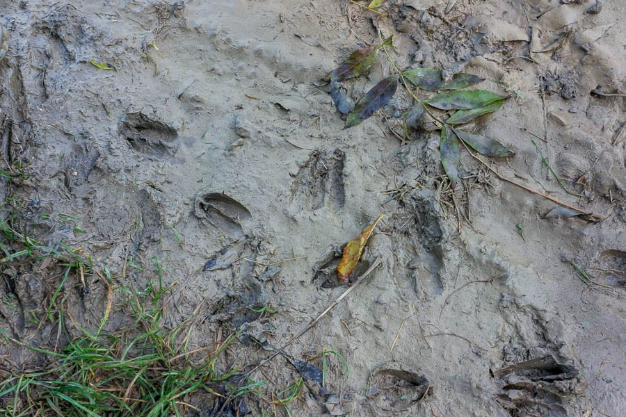 Casting animal tracks deer trail