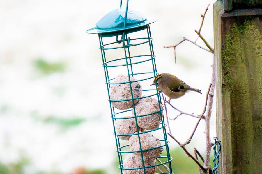Goldcrest at feeder