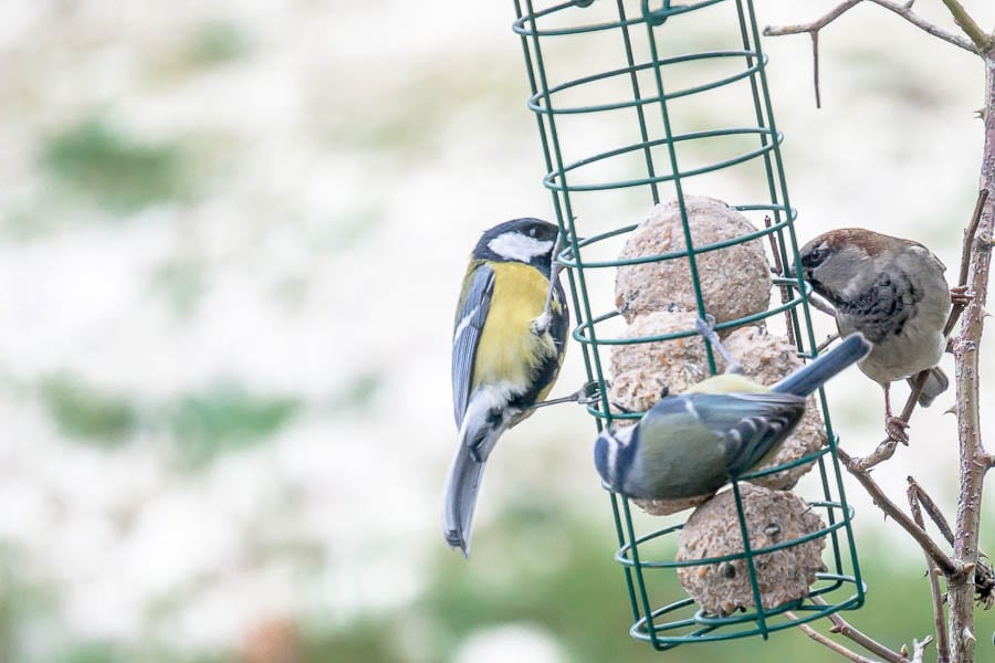 Great tit blue tit and house sparrow