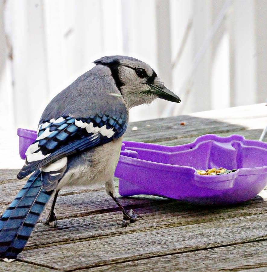 Kids bird watching blue jay