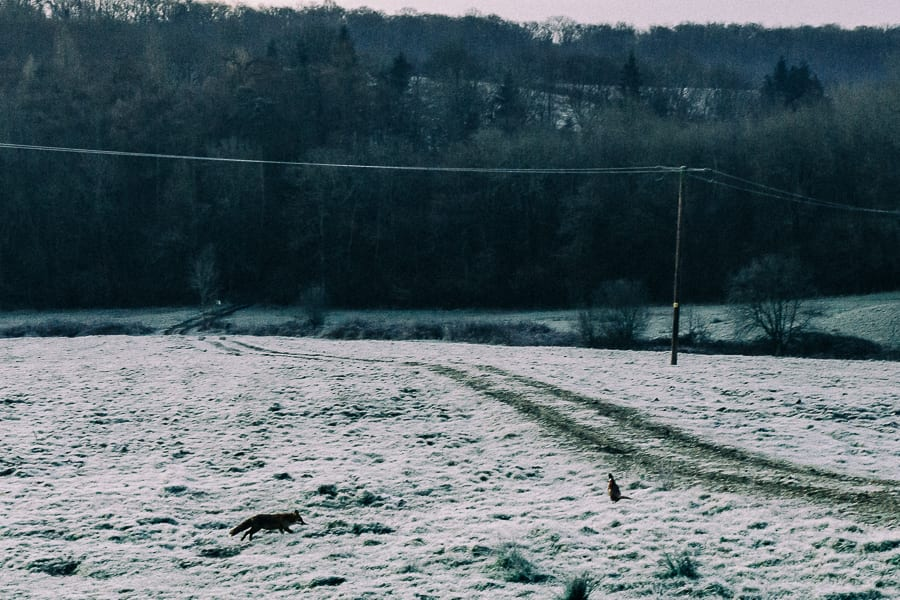 One frosty morning fox heading for pheasant