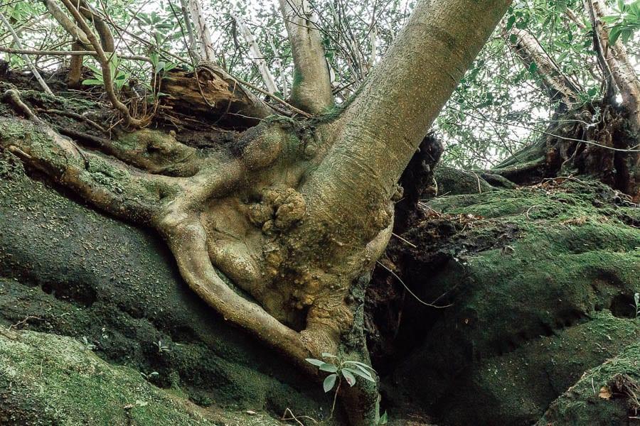Wakehurst Rock Walk tree on sandrock
