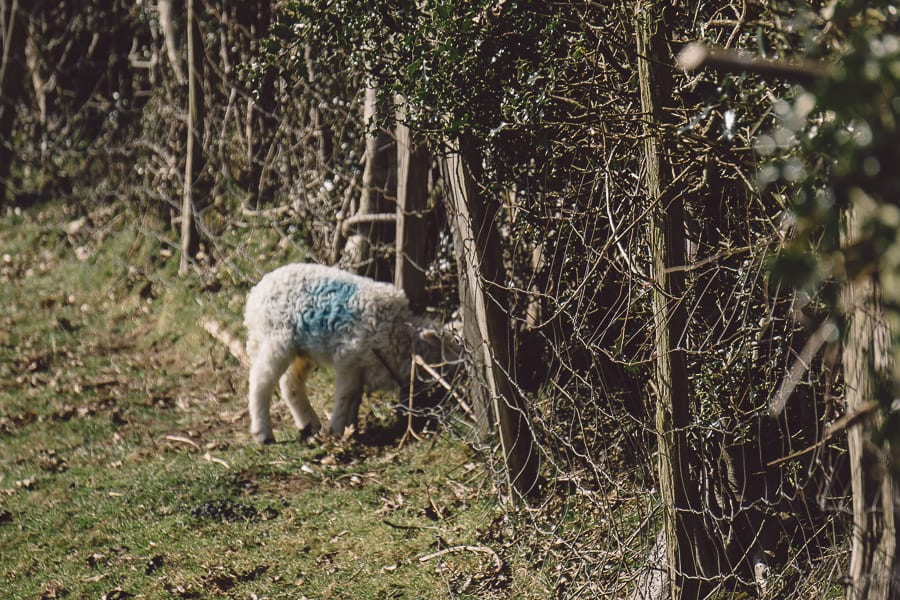 Baby lamb by hedge