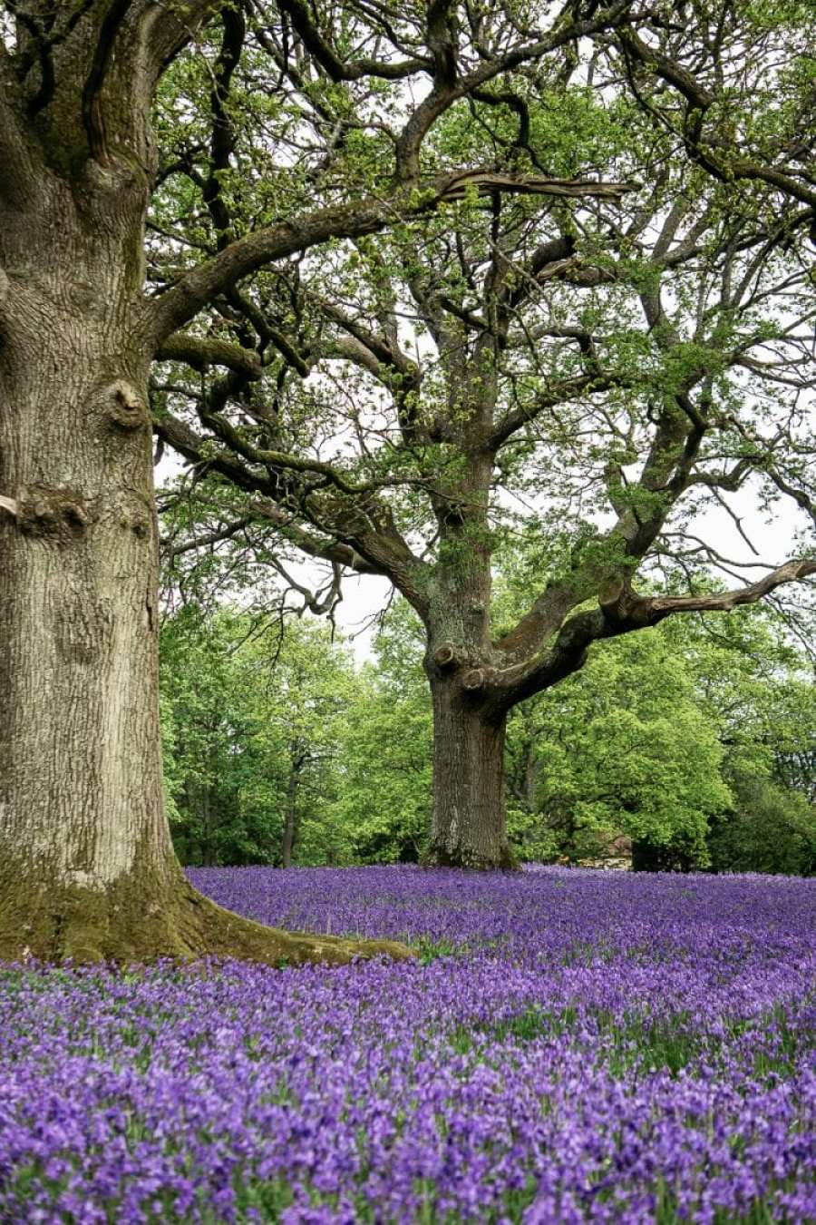 Big Bluebell Watch bluebells under oaks