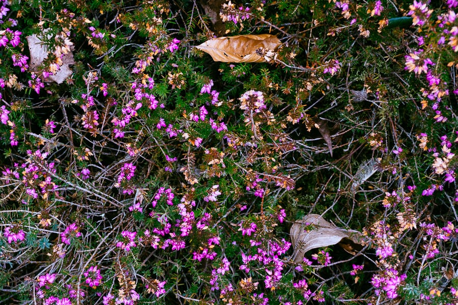 Wakehurst pink heather and leaves