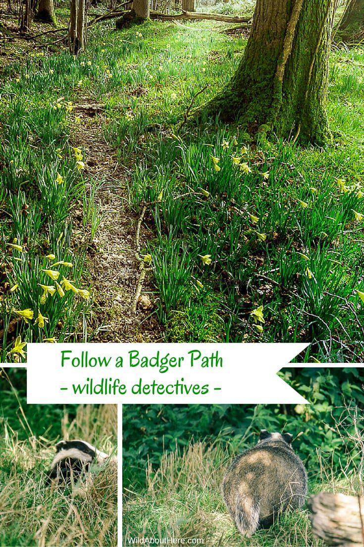 Follow a badger path wildlife detectives