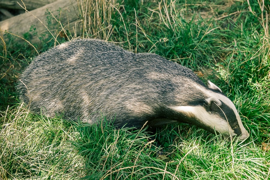 Follow badger path badger sniffing