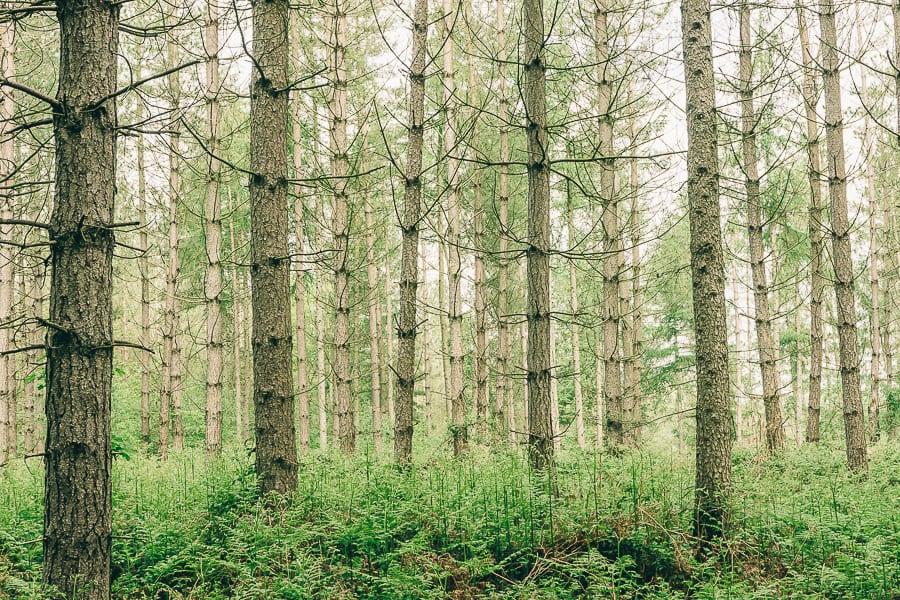 Pine plantation May treeline