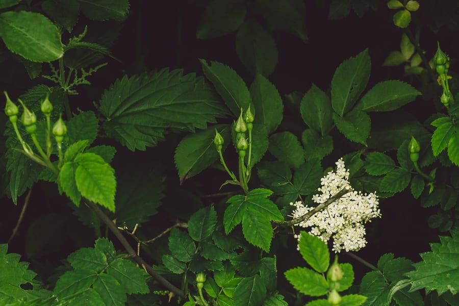 Elderflowers wild rose buds
