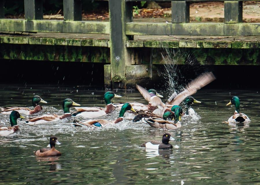 London Wetland Centre ducks splashing water