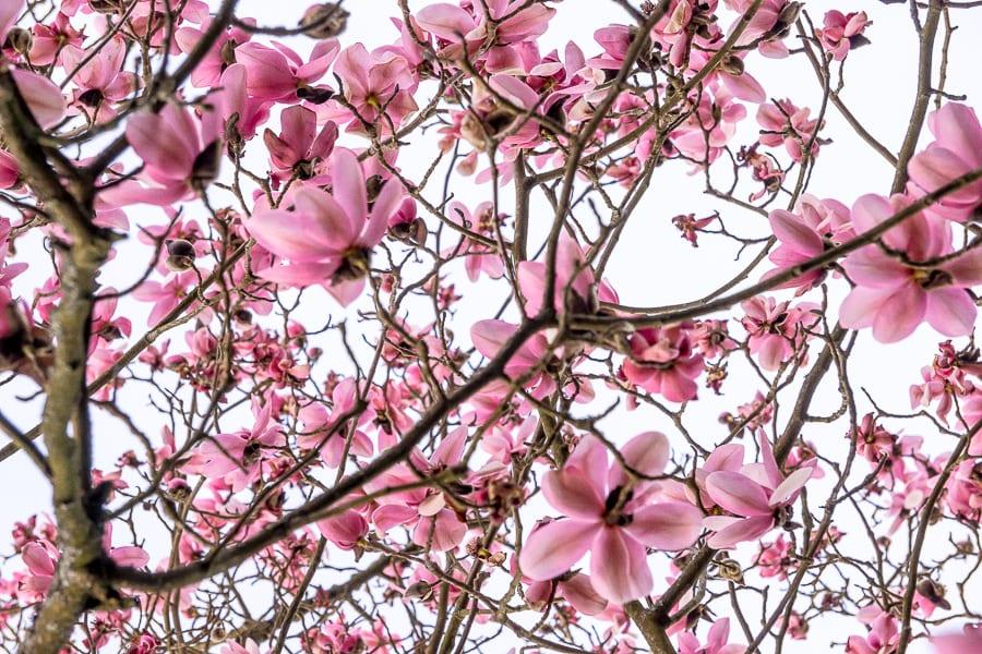 Nymans Magnolias