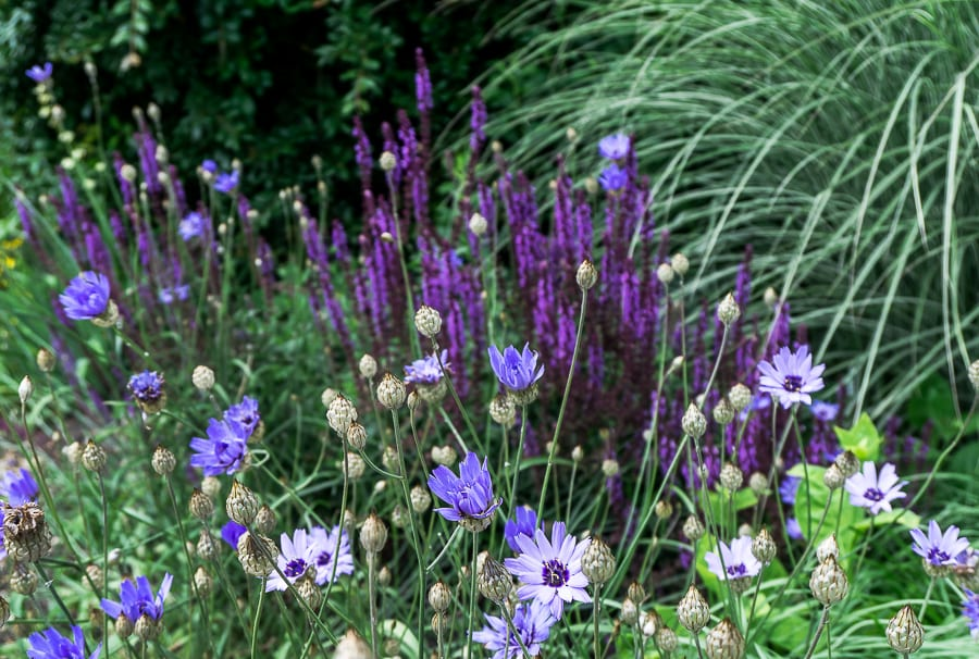 Nymans blue purple flowers
